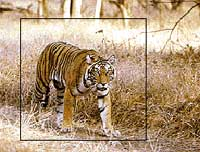 Tiger safari at Bandhavgarh National Park, India tours