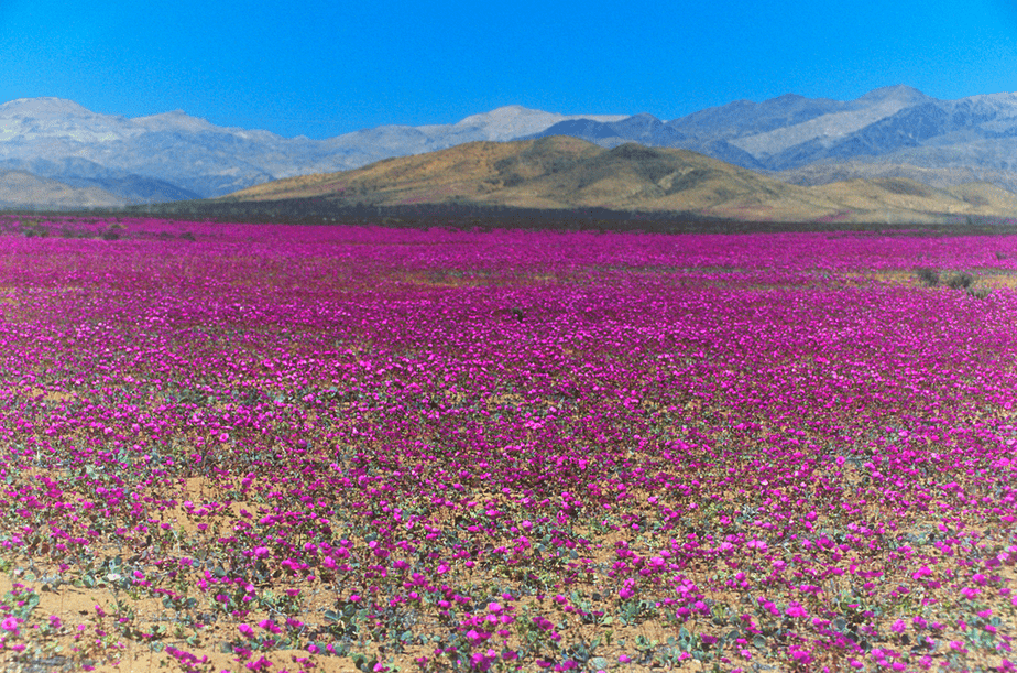 rare desert flowering in Atacama desert chile