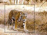 Tiger safari at Bandhavgarh National Park, India tours
