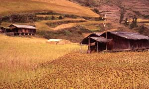 Lhomi timber houses surrounded by millet fields