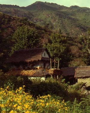 Limbu house surrounded by flowering mustard fields