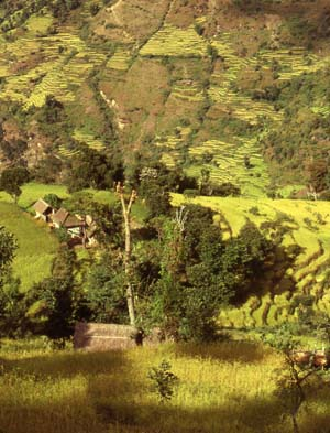 Limbuwan, fertile land of the Limbus, rice the most important crop