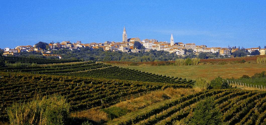 Vine yards of buje croatia