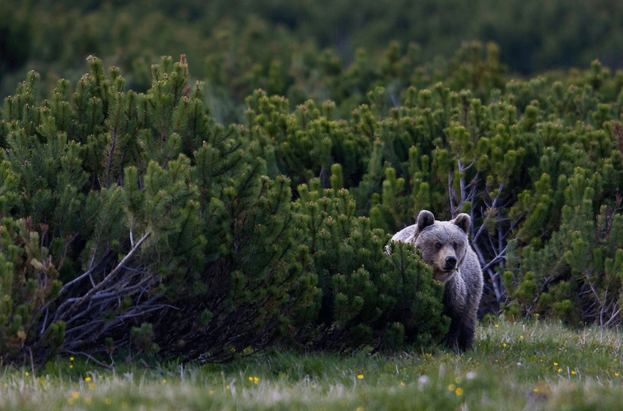 Brown Bear of Tatras