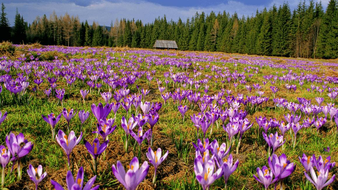 Crocus scepusiensis flower in Tatras in Poland