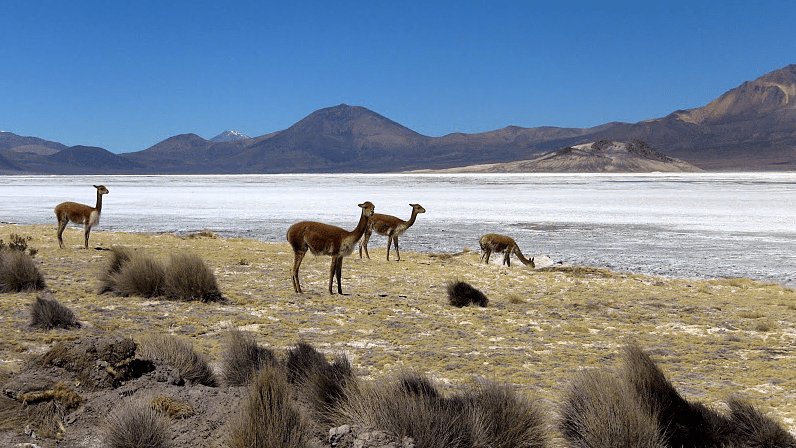 Animals species in Atacama chile